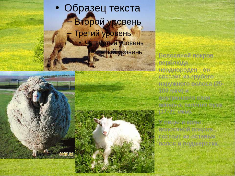 Волосяной покров верблюда неоднороден - он состоит из грубого наружного волос...