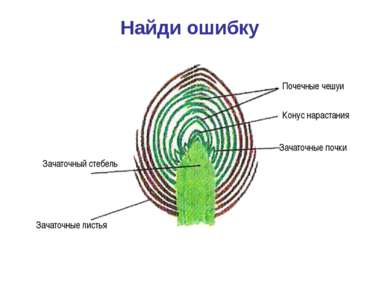 Найди ошибку Почечные чешуи Зачаточные листья Зачаточный стебель Зачаточные п...