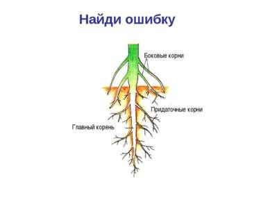 Найди ошибку Боковые корни Придаточные корни Главный корень