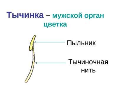 Тычинка – мужской орган цветка Пыльник Тычиночная нить