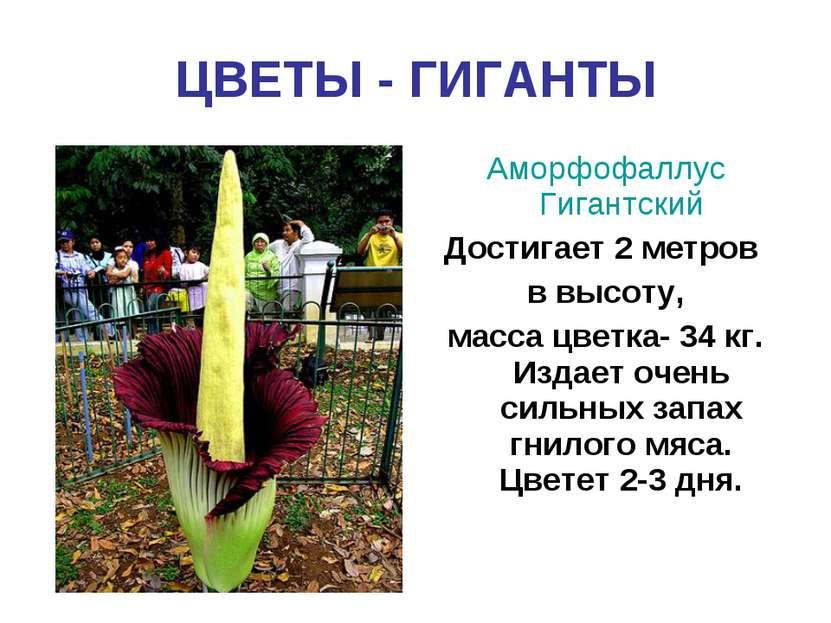 ЦВЕТЫ - ГИГАНТЫ Аморфофаллус Гигантский Достигает 2 метров в высоту, масса цв...