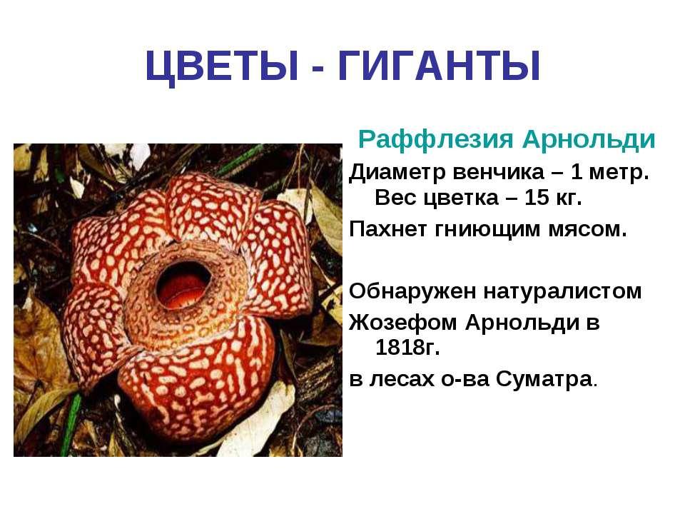 ЦВЕТЫ - ГИГАНТЫ Раффлезия Арнольди Диаметр венчика – 1 метр. Вес цветка – 15 ...