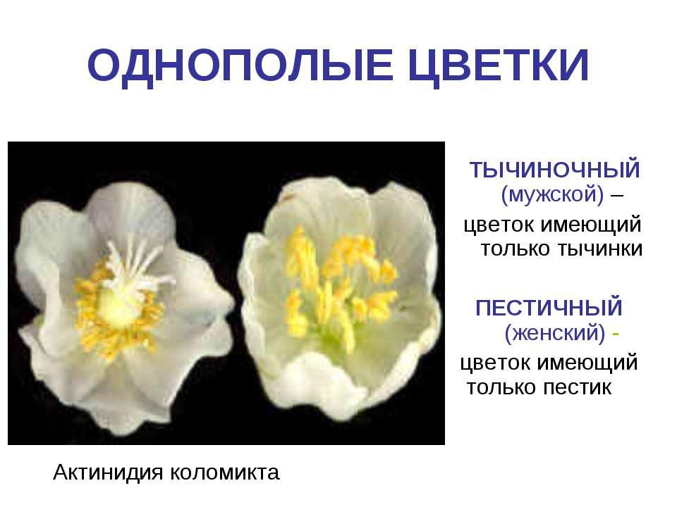 ОДНОПОЛЫЕ ЦВЕТКИ Актинидия коломикта ТЫЧИНОЧНЫЙ (мужской) – цветок имеющий то...