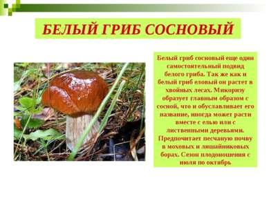 БЕЛЫЙ ГРИБ СОСНОВЫЙ Белый гриб сосновый еще один самостоятельный подвид белог...