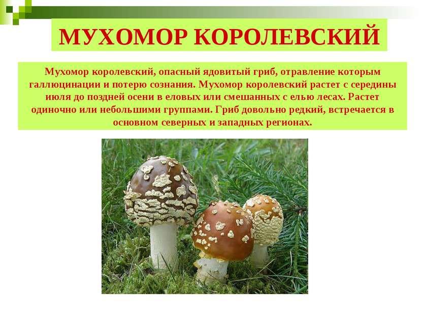 МУХОМОР КОРОЛЕВСКИЙ Мухомор королевский, опасный ядовитый гриб, отравление ко...