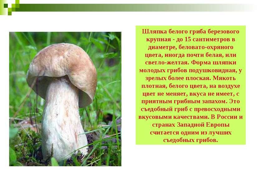 Шляпка белого гриба березового крупная - до 15 сантиметров в диаметре, белова...