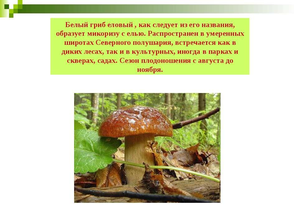 Белый гриб еловый , как следует из его названия, образует микоризу с елью. Ра...