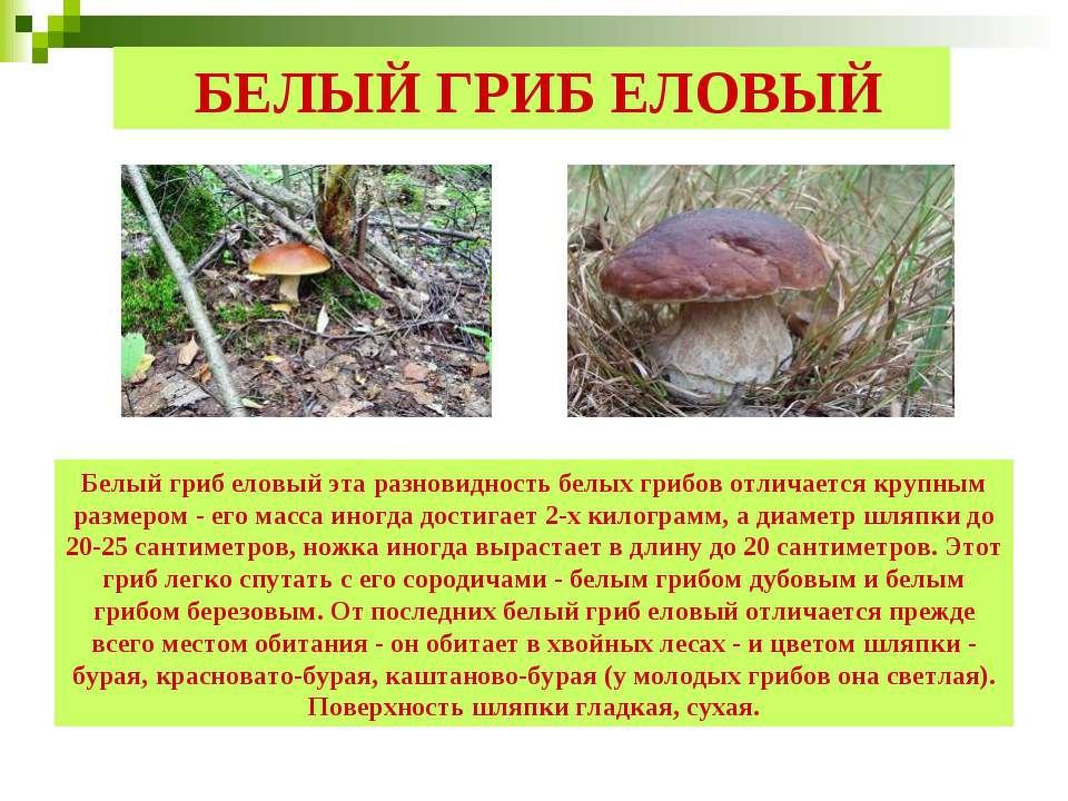 БЕЛЫЙ ГРИБ ЕЛОВЫЙ Белый гриб еловый эта разновидность белых грибов отличается...