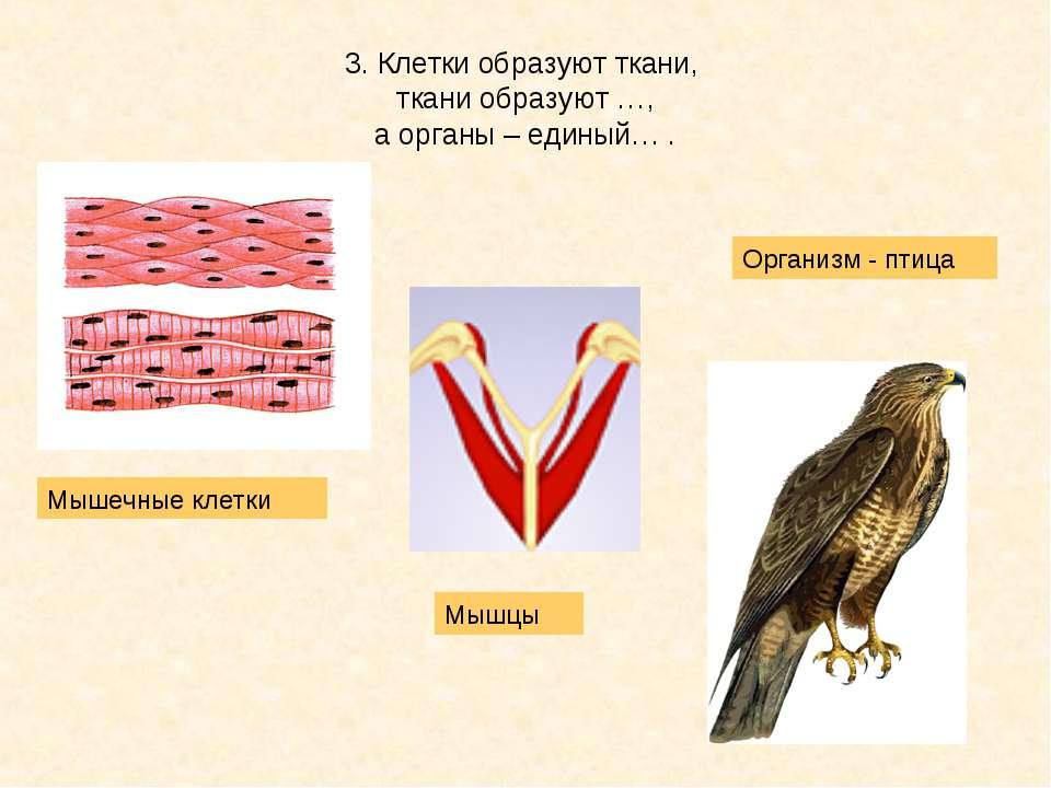 3. Клетки образуют ткани, ткани образуют …, а органы – единый… . Мышечные кле...