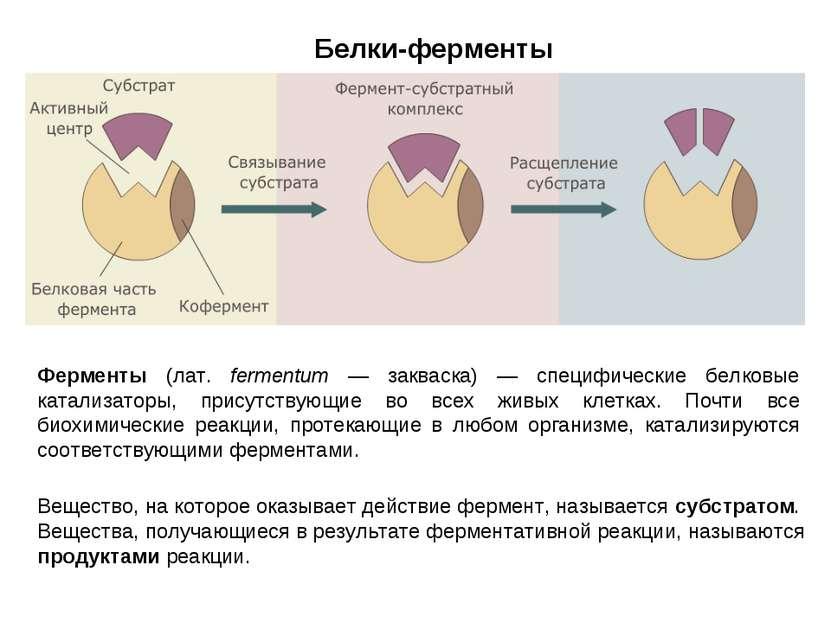 Белки-ферменты Ферменты (лат. fermentum — закваска) — специфические белковые ...