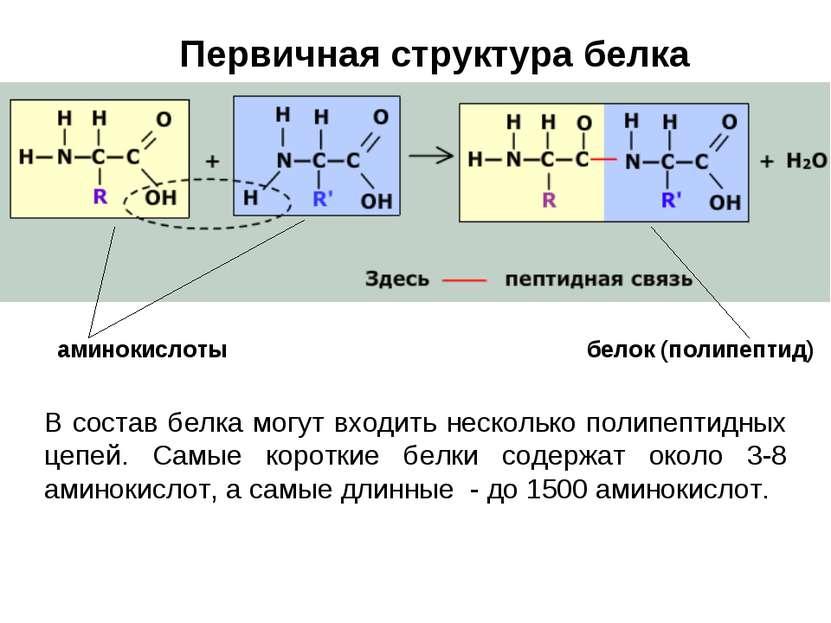 Первичная структура белка В состав белка могут входить несколько полипептидны...