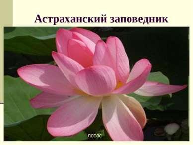 Астраханский заповедник лотос