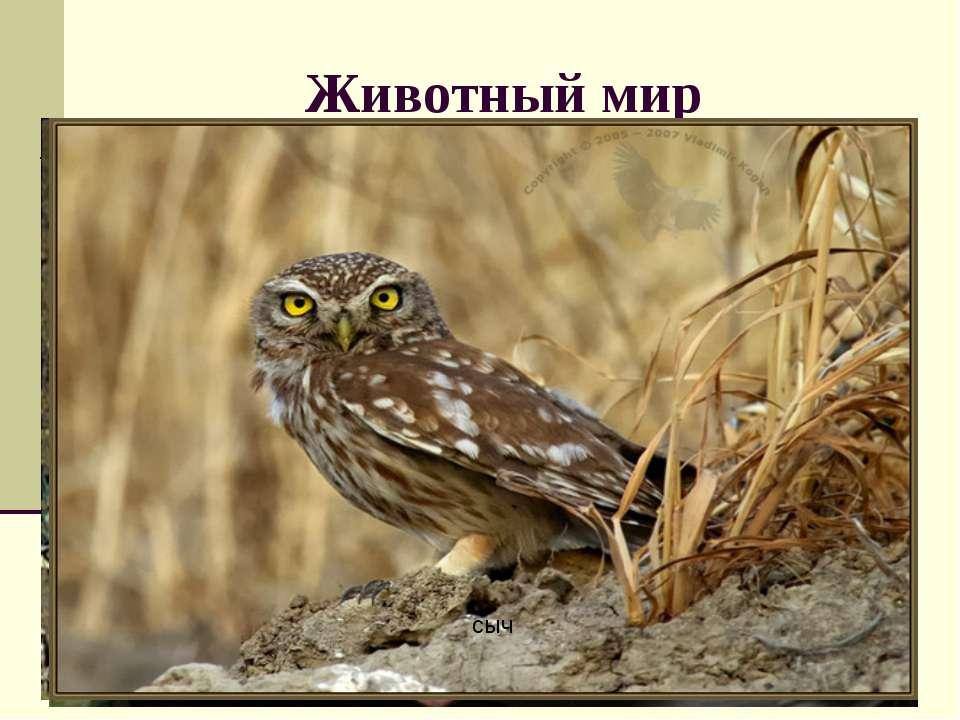 Животный мир Какие животные обитают в пустыне и полупустыне? Какие приспособл...