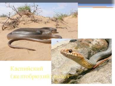Каспийский (желтобрюхий) полоз