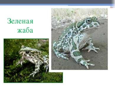 Зеленая жаба