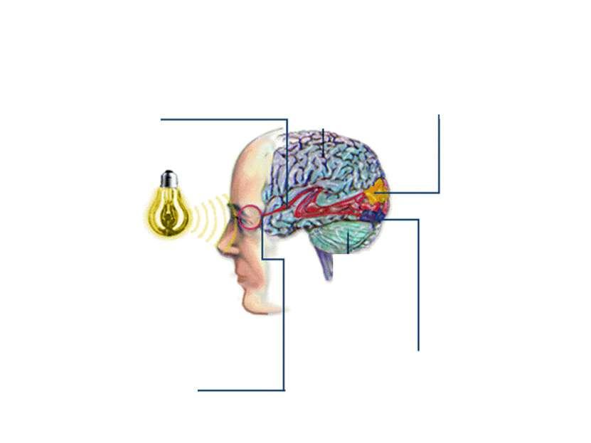Нервный путь Вторичный воспринимающий центр Первичный воспринимающий центр Ре...