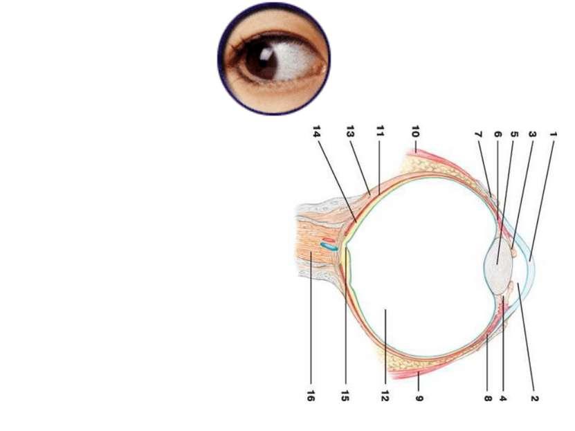 Схема глазного яблока (вертикальный разрез): 1 — роговица; 2 — передняя камер...
