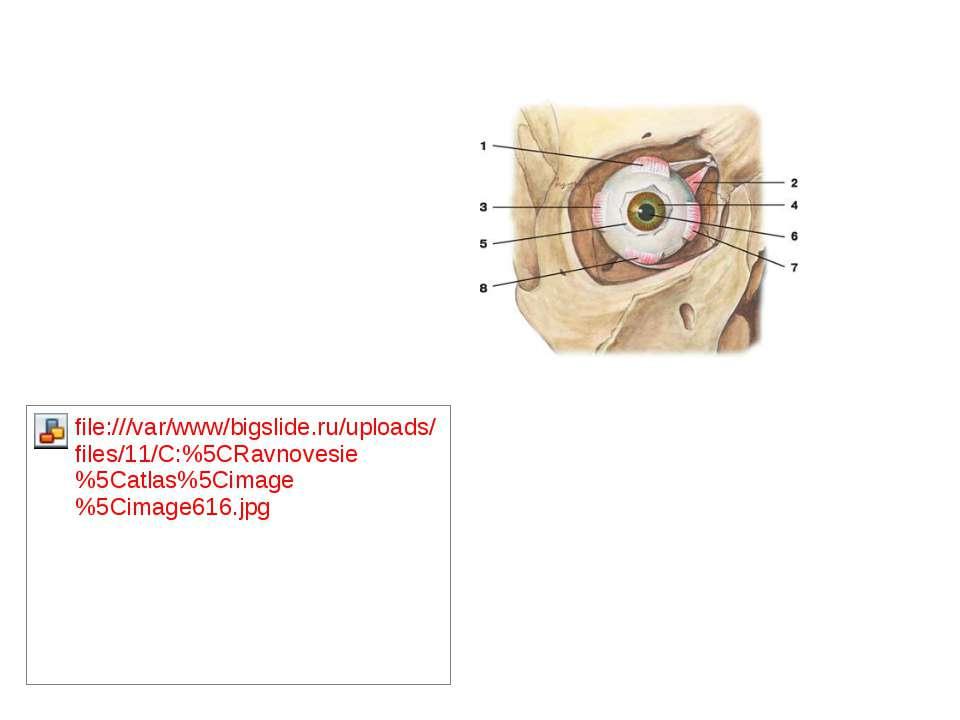1 — верхняя прямая мышца; 2 — верхняя косая мышца ; 3 — латеральная прямая мы...