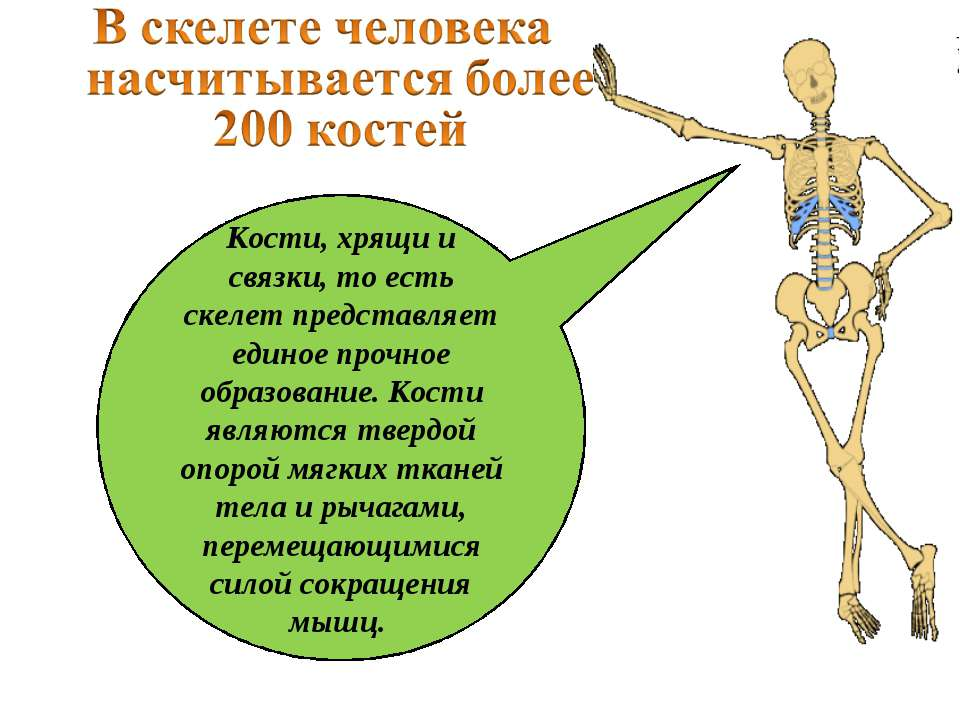 Кости, хрящи и связки, то есть скелет представляет единое прочное образование...