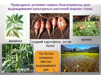 Природные условия саванн благоприятны для выращивания культурных растений жар...