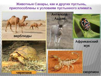 Животные Сахары, как и других пустынь, приспособлены к условиям пустынного кл...