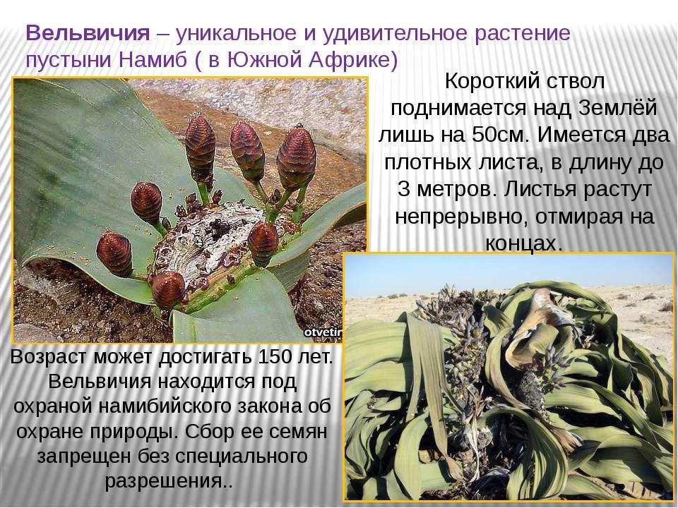 Вельвичия – уникальное и удивительное растение пустыни Намиб ( в Южной Африке...
