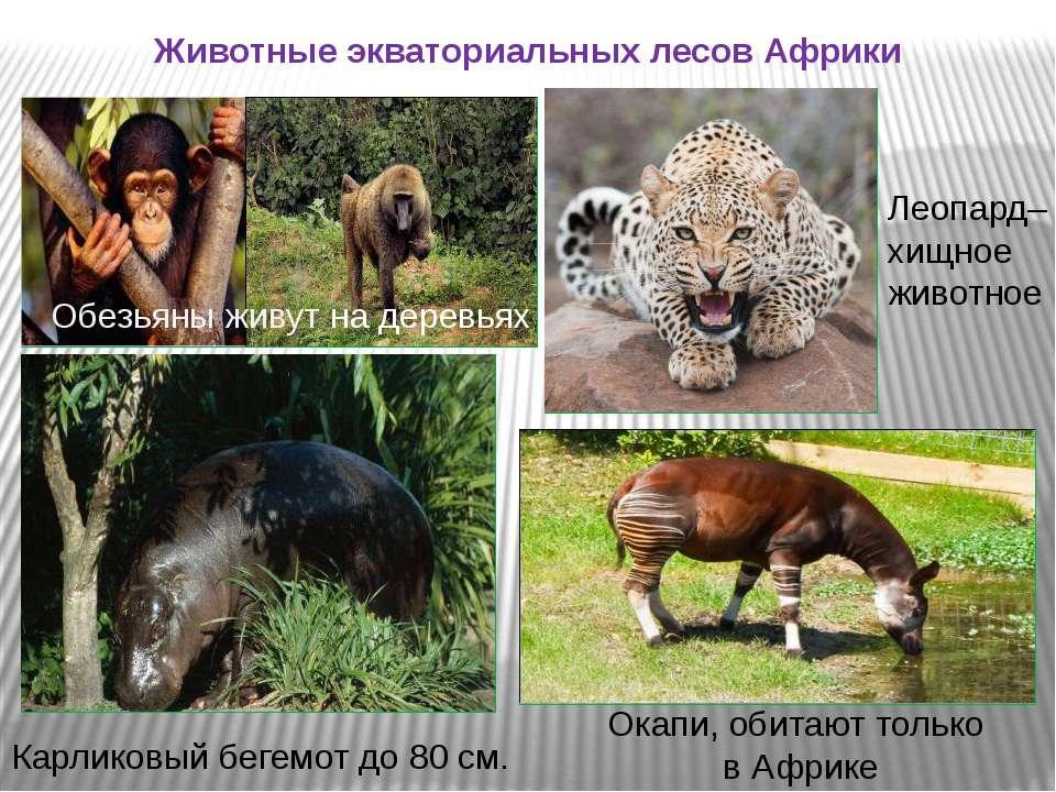 Животные экваториальных лесов Африки Обезьяны живут на деревьях Леопард– хищн...