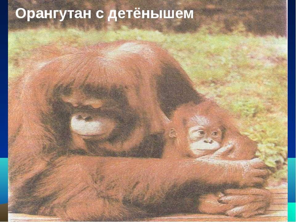 Орангутан с детёнышем