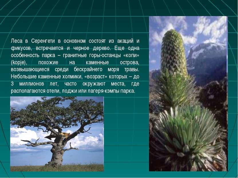 Леса в Серенгети в основном состоят из акаций и фикусов, встречается и черное...