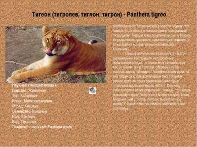 Тигеон (тигролев, тиглон, тигрон) - Panthera tigreo Научная классификация Цар...