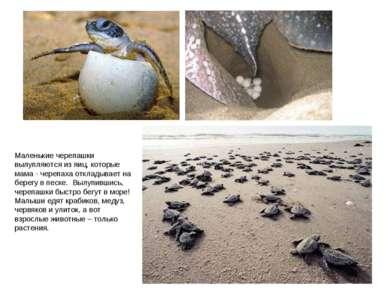 Маленькие черепашки вылупляются из яиц, которые мама - черепаха откладывает н...