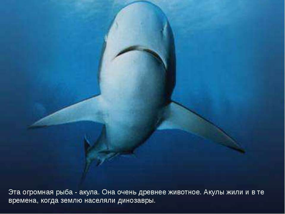 Эта огромная рыба - акула. Она очень древнее животное. Акулы жили и в те врем...