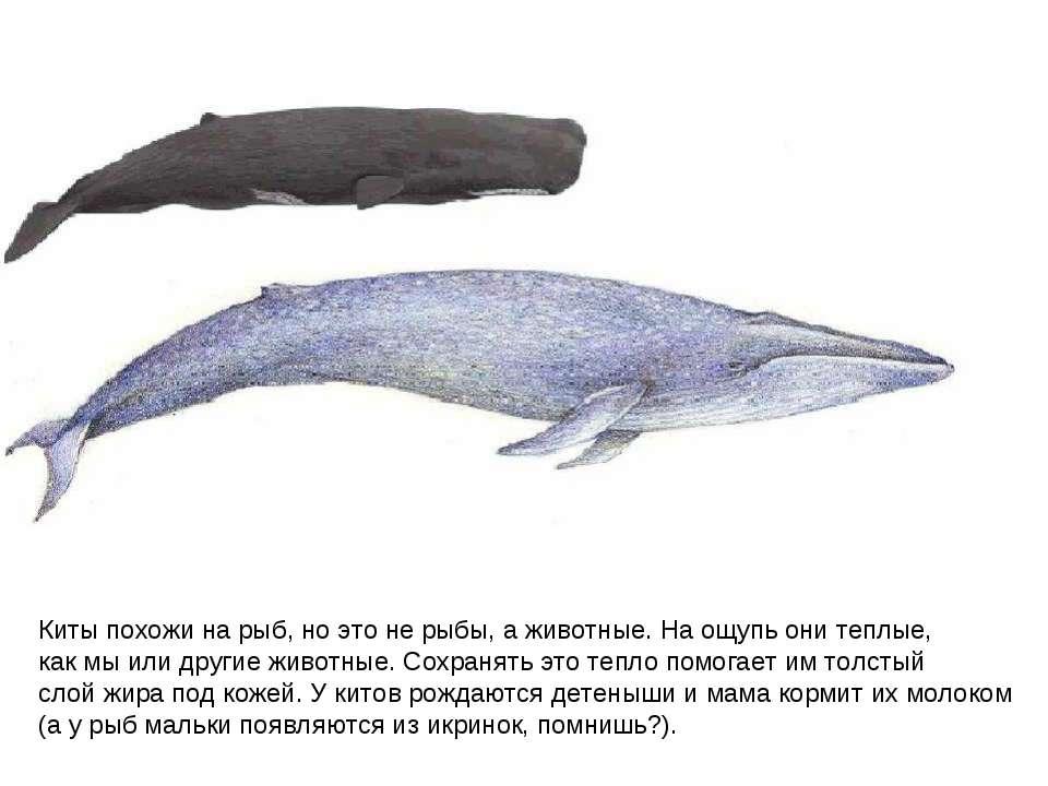 Киты похожи на рыб, но это не рыбы, а животные. На ощупь они теплые, как мы и...