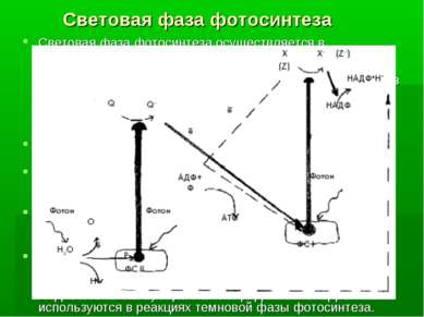 Световая фаза фотосинтеза Световая фаза фотосинтеза осуществляется в хлоропла...