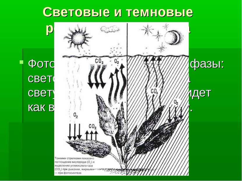 Световые и темновые реакции фотосинтеза Фотосинтез протекает в две фазы: свет...