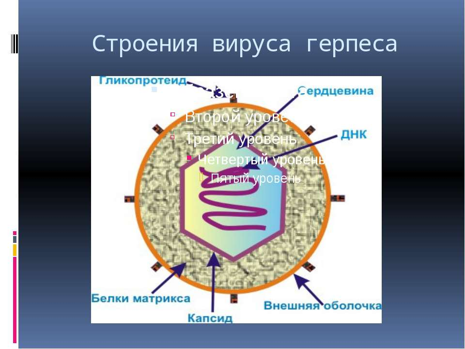 Строения вируса герпеса
