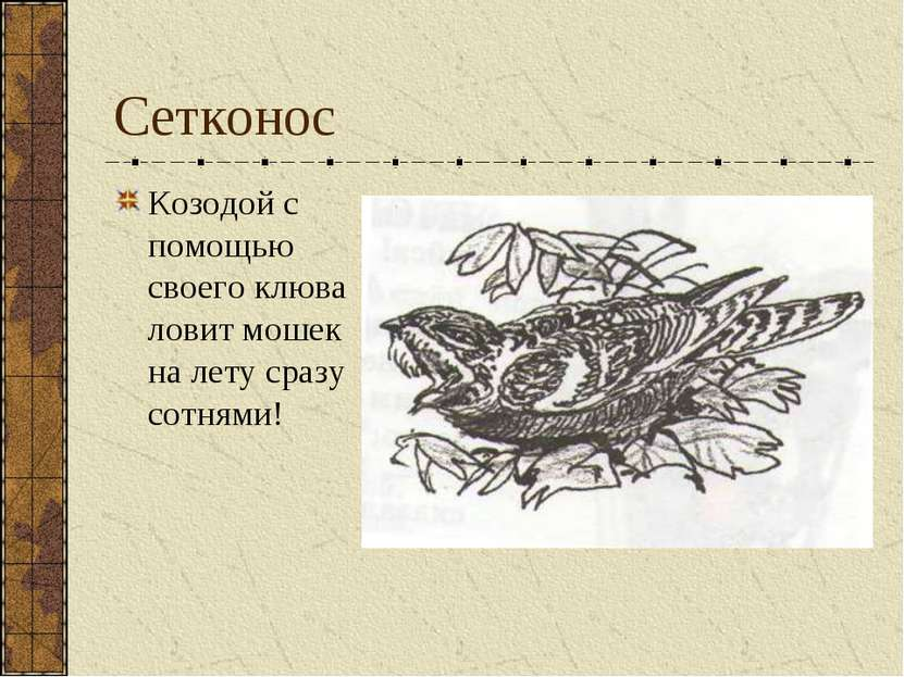 Сетконос Козодой с помощью своего клюва ловит мошек на лету сразу сотнями!