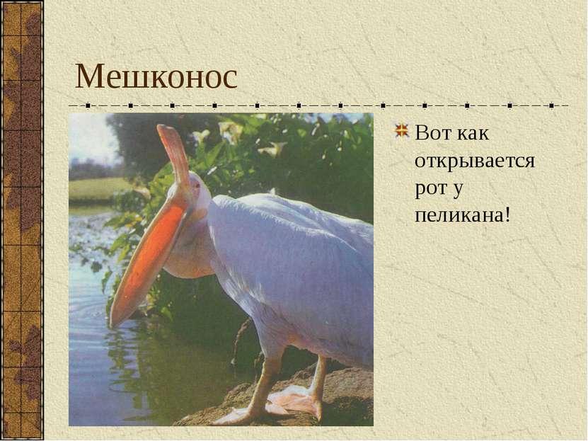 Мешконос Вот как открывается рот у пеликана!