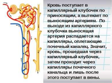 Кровь поступает в капиллярный клубочек по приносящим, а вытекает по выносящим...