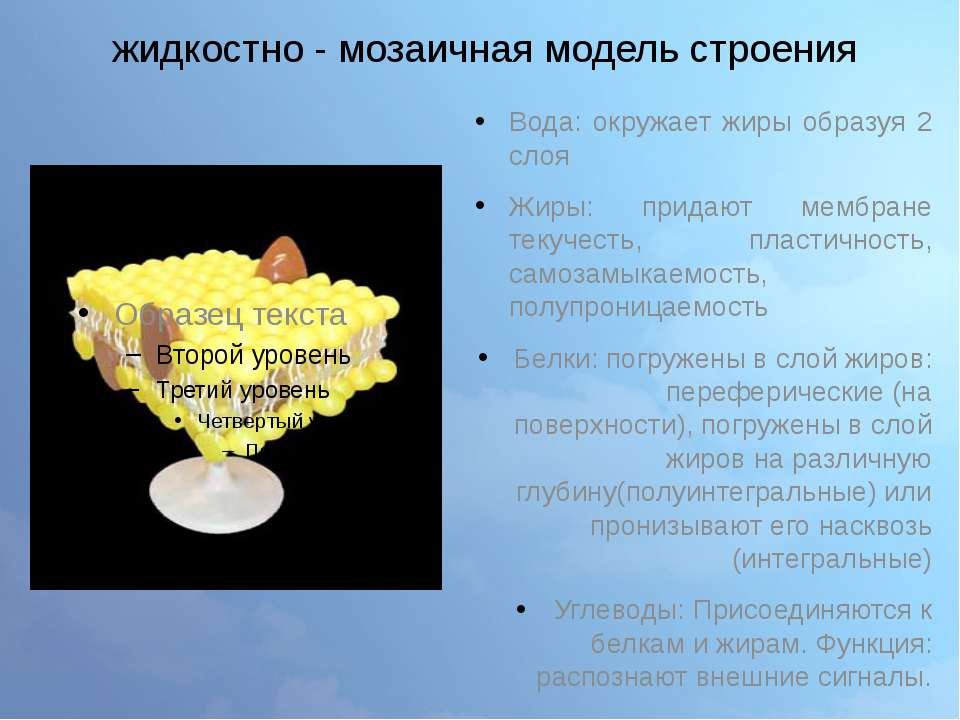 жидкостно - мозаичная модель строения Вода: окружает жиры образуя 2 слоя Жиры...