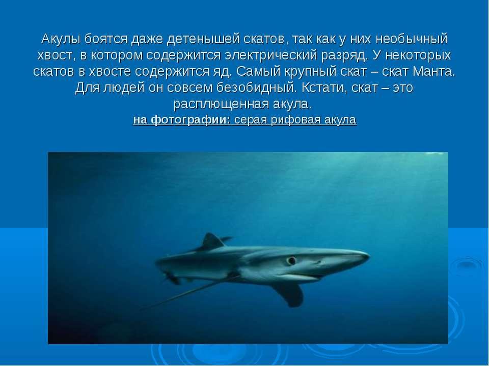 Акулы боятся даже детенышей скатов, так как у них необычный хвост, в котором ...