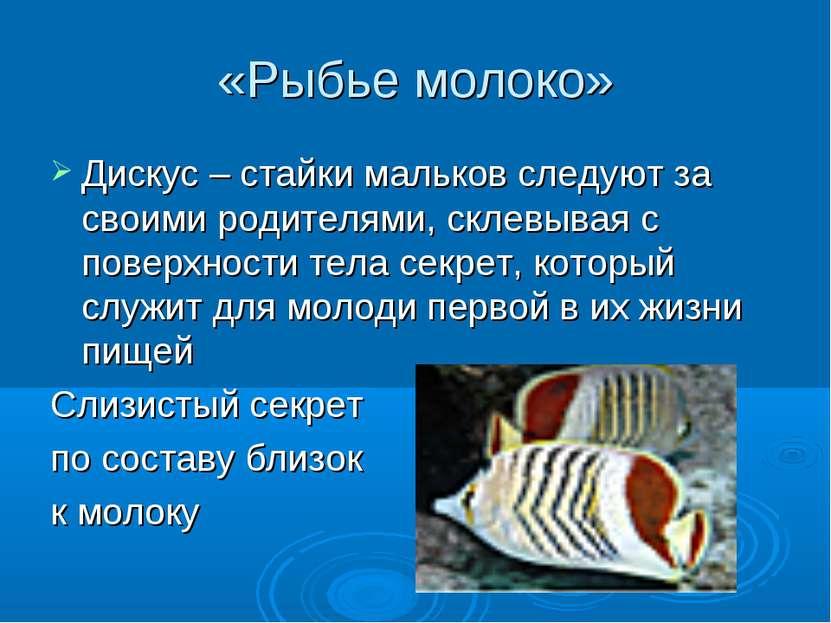 «Рыбье молоко» Дискус – стайки мальков следуют за своими родителями, склевыва...