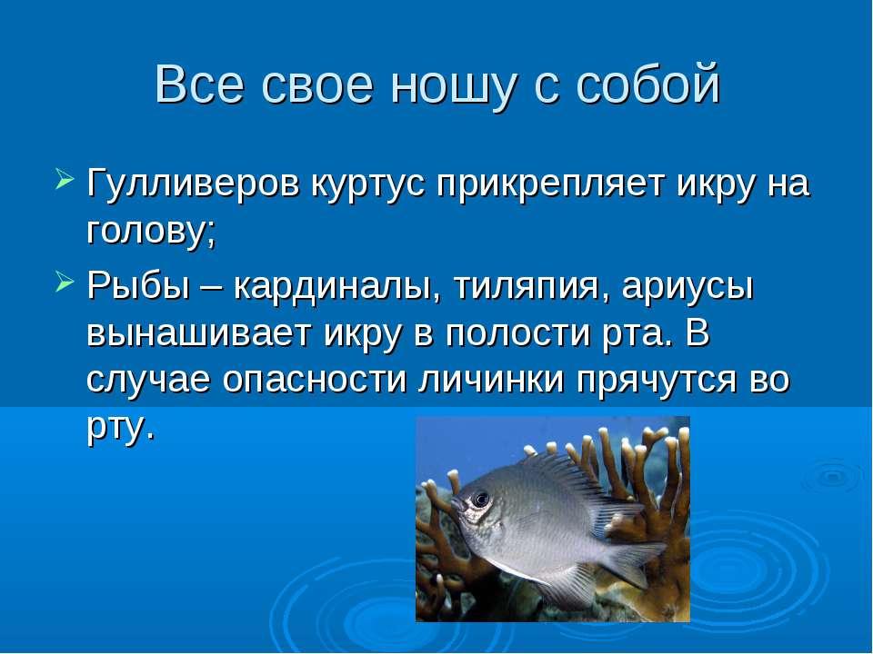Все свое ношу с собой Гулливеров куртус прикрепляет икру на голову; Рыбы – ка...