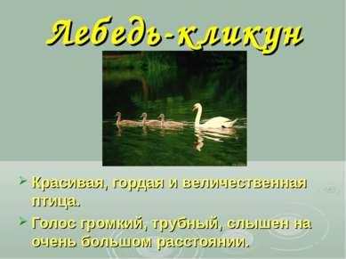 Лебедь-кликун Красивая, гордая и величественная птица. Голос громкий, трубный...
