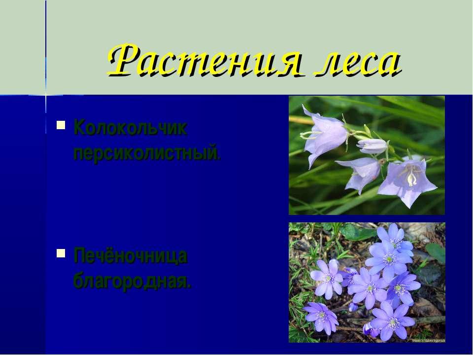 Растения леса Колокольчик персиколистный. Печёночница благородная.