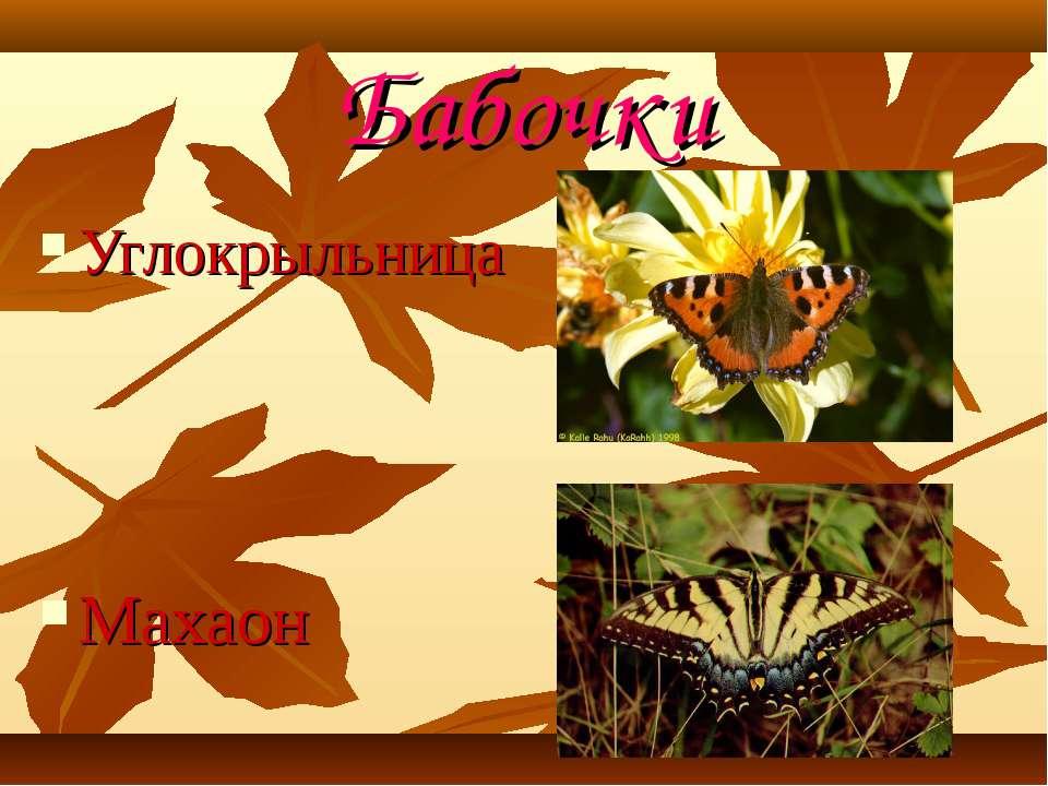 Бабочки Углокрыльница Махаон