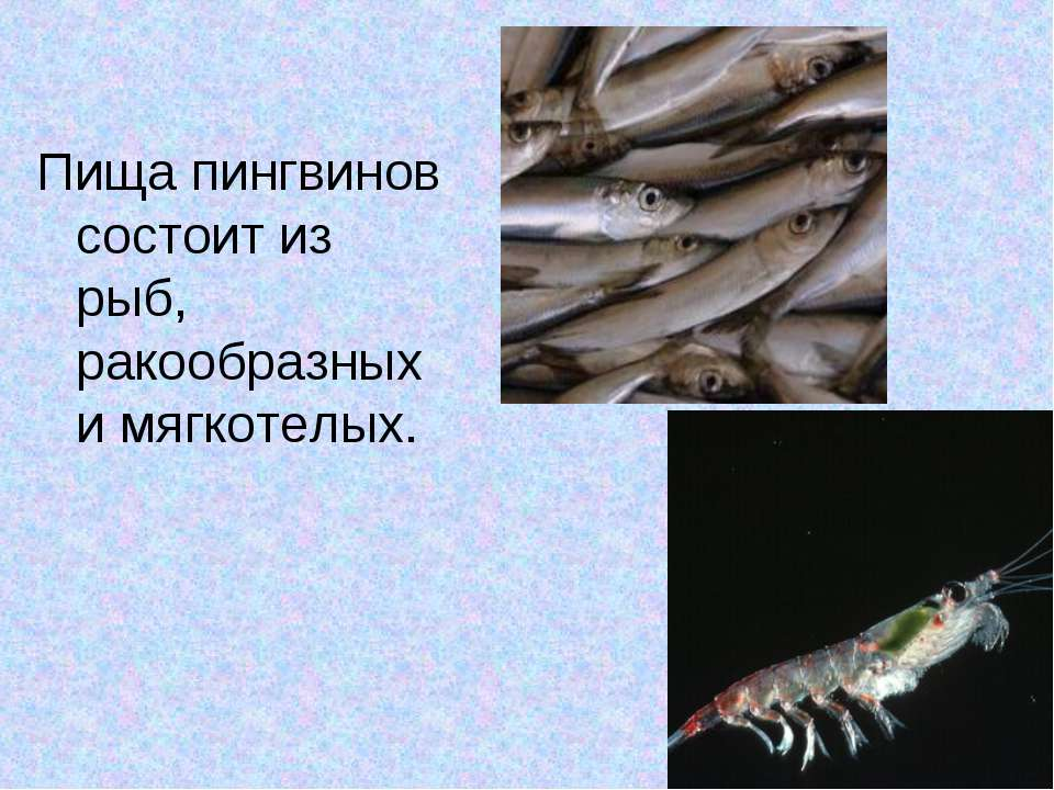 Пищапингвинов состоит из рыб, ракообразных и мягкотелых.