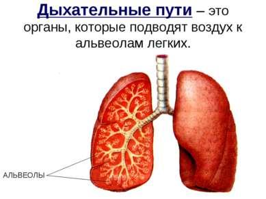 Дыхательные пути – это органы, которые подводят воздух к альвеолам легких. АЛ...