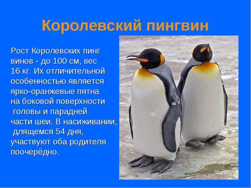 Королевский пингвин Рост Королевских пинг винов - до 100 см, вес 16 кг. Их от...