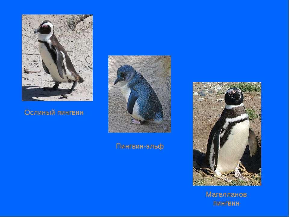 Пингвин-эльф Ослиный пингвин Магелланов пингвин
